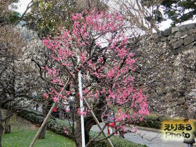 皇居東御苑梅園の梅2012