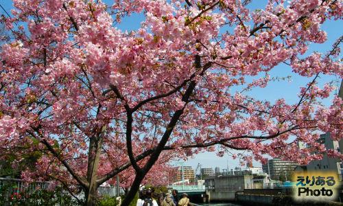 都立木場公園東側大横川沿いの河津桜2012