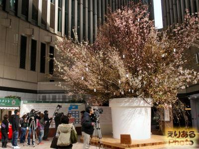 「桜を見上げよう。」Sakura Project@LUMINE有楽町