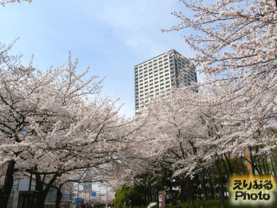 2013年川崎の桜ソメイヨシノも満開へ