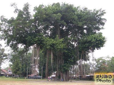 ムンドゥッ寺院境内のガジュマルの木