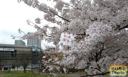 豊洲公園の桜2013