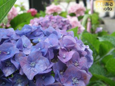 隅田公園の紫陽花